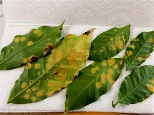 Photo of leaves affected by Coffee leaf rust