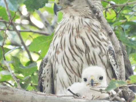 Cooper's Hawks Nesting in our Yard in Amarillo (Updated)