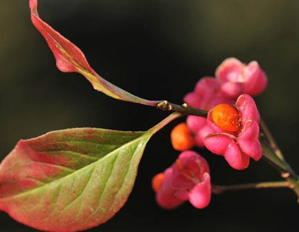 Plant of the Month: Euonymus europaeus
