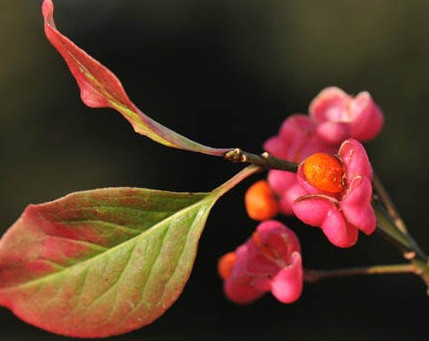 Plant of the Month: Euonymus europaeus