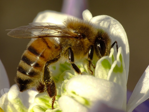 The Looming Extinction of Bees