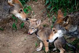 The Red Wolf -- you can help save it