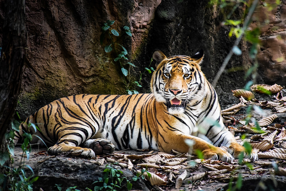 tigre , animal sauvage ,
