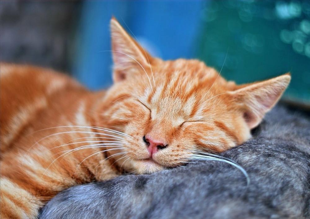 Conheça a planta que faz bem aos gatos: Erva-gateira (catnip)