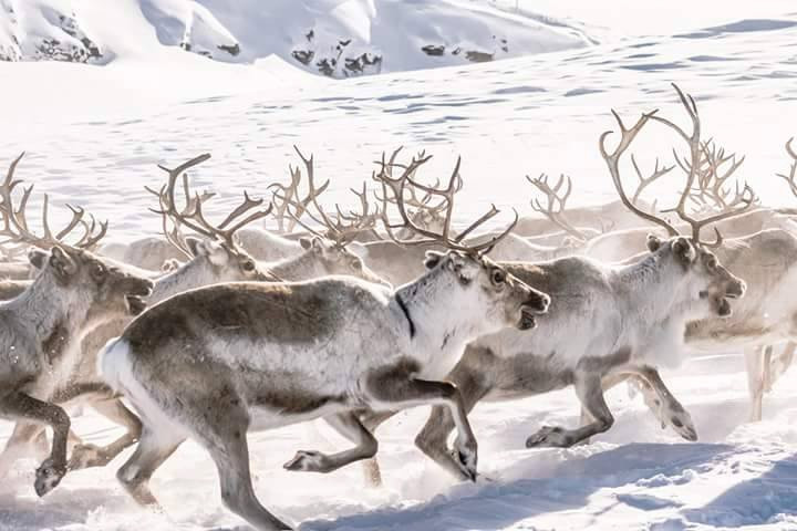 Explore the Sami culture and reindeer herding with the Sami in Finnmark, Norway