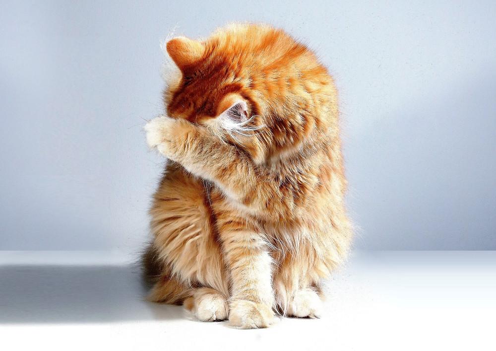 Cat grooming - TassieCat