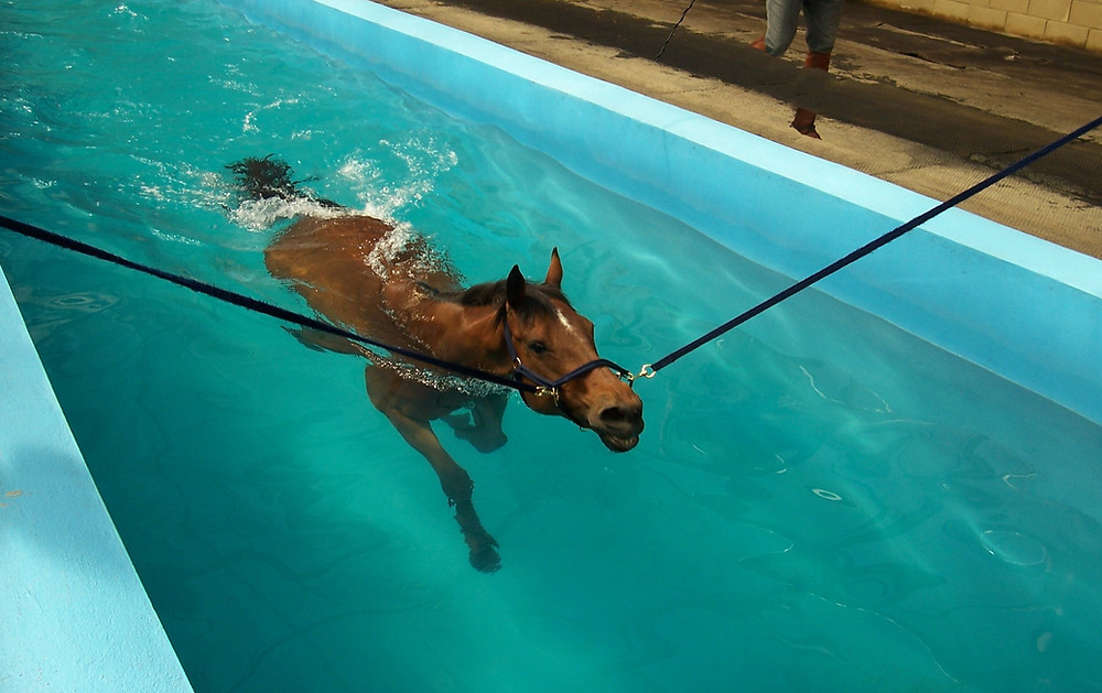 A horse swimming for hydrotherapy