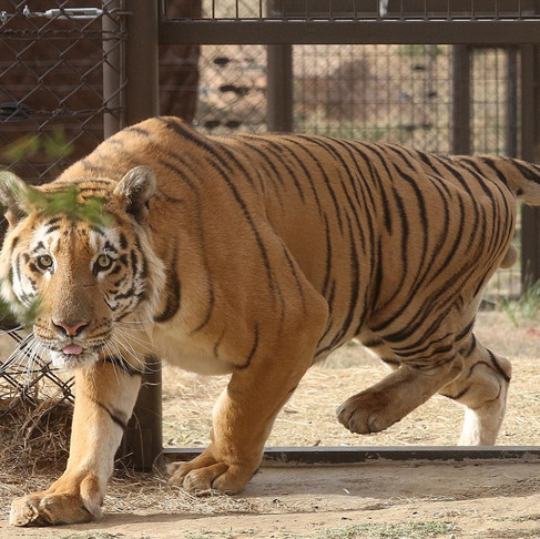 "Tiger Rescued from ""The World's Worst Zoo"" Is Now Enjoying Life In a Sanctuary"