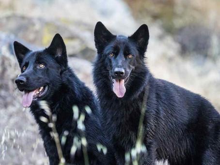 Calupoh: La raza mexicana de perros más hermosa
