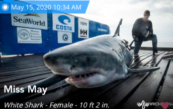 10 ft Great White Pinged off Coast of Satellite Beach