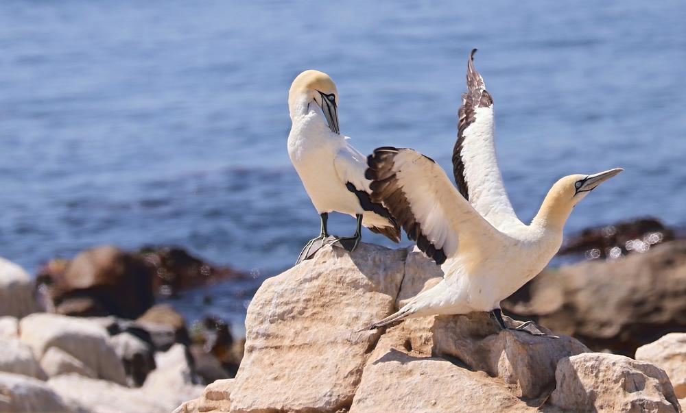 Kaptölpel Lamberts Bay Südafrika