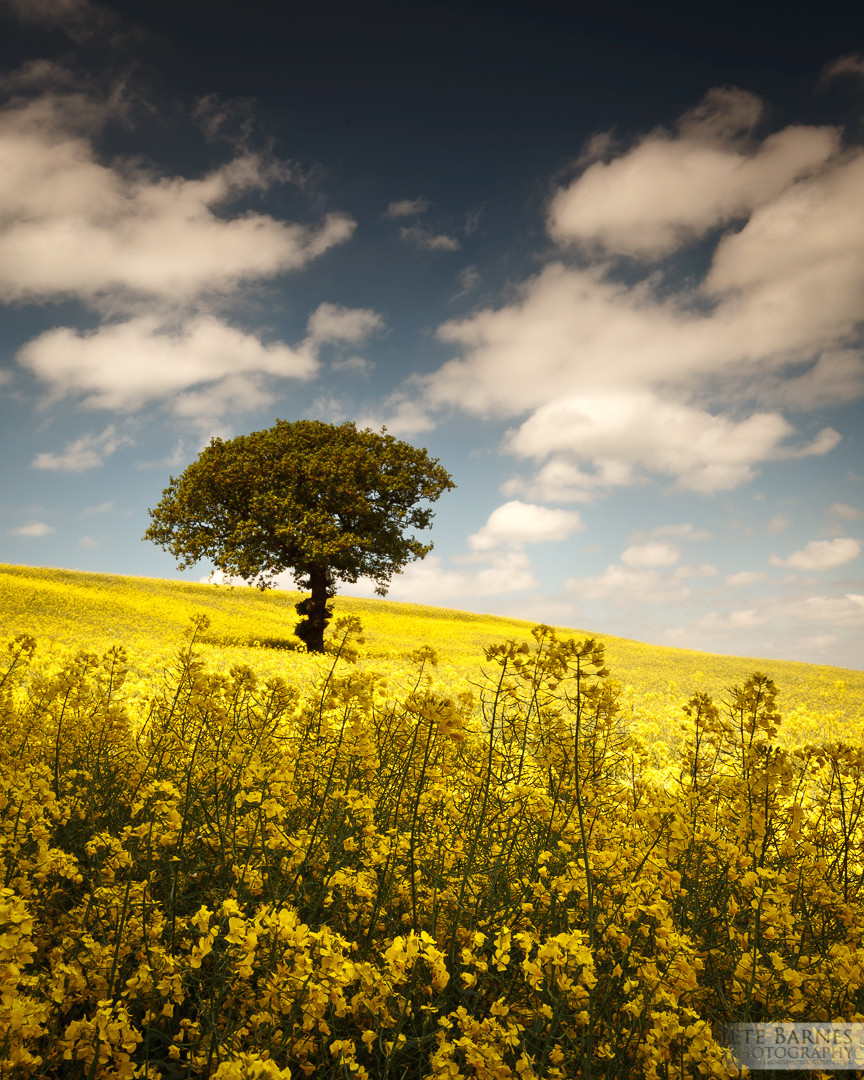 Tree in a yellow field in Wakefield