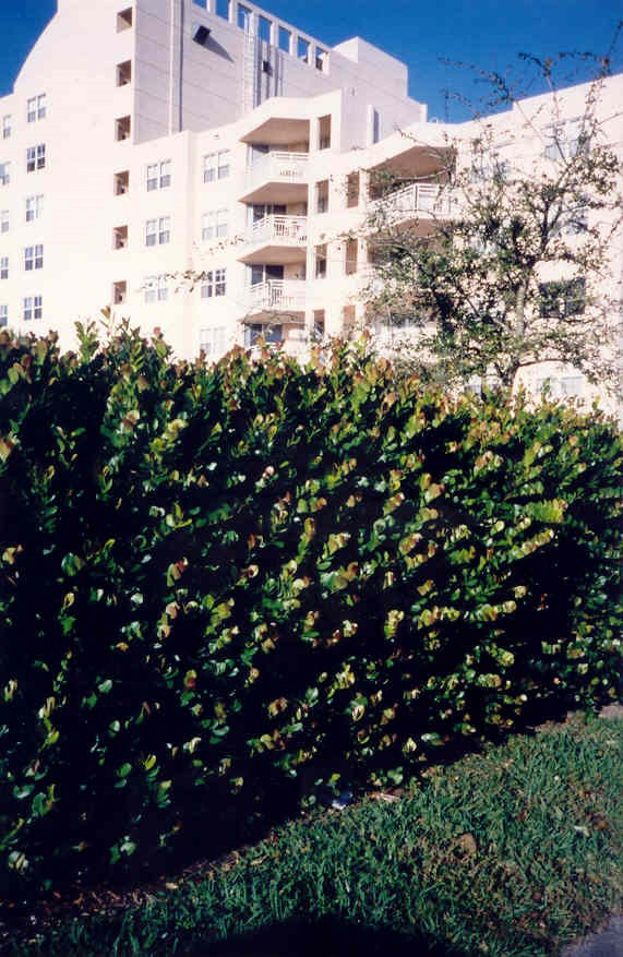 COCOPLUM AS A TIGHT CLIPPED HEDGE