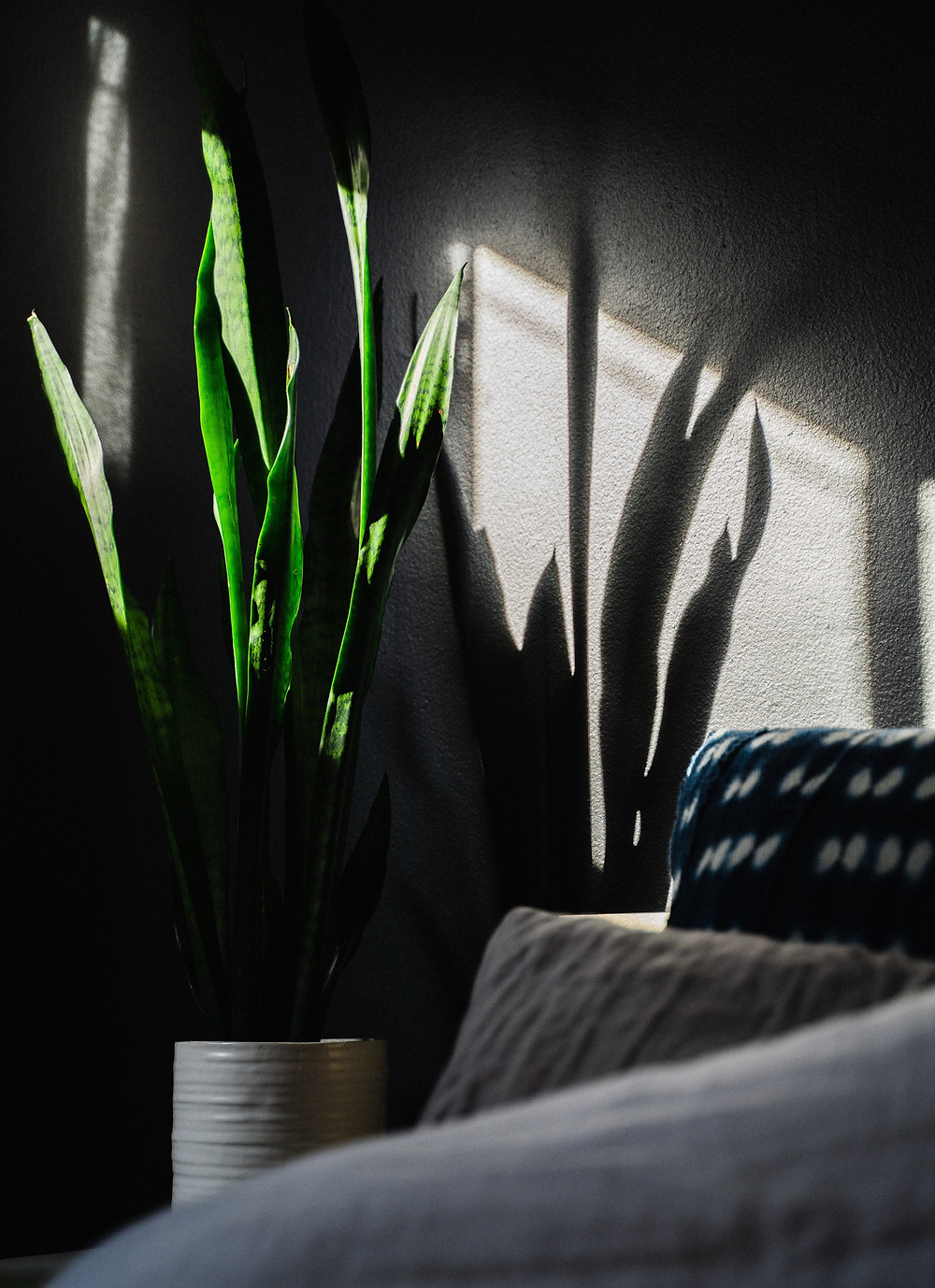 Snake plant and shadow