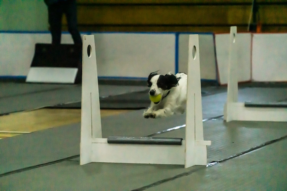 Gracie - Flyball dog!
