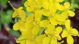 Moutarde   fleur de Bach anti tristesse et anti déprime