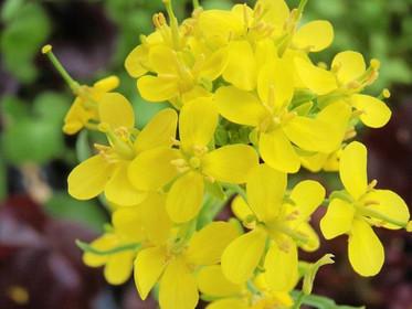 Moutarde | fleur de Bach anti tristesse et anti déprime