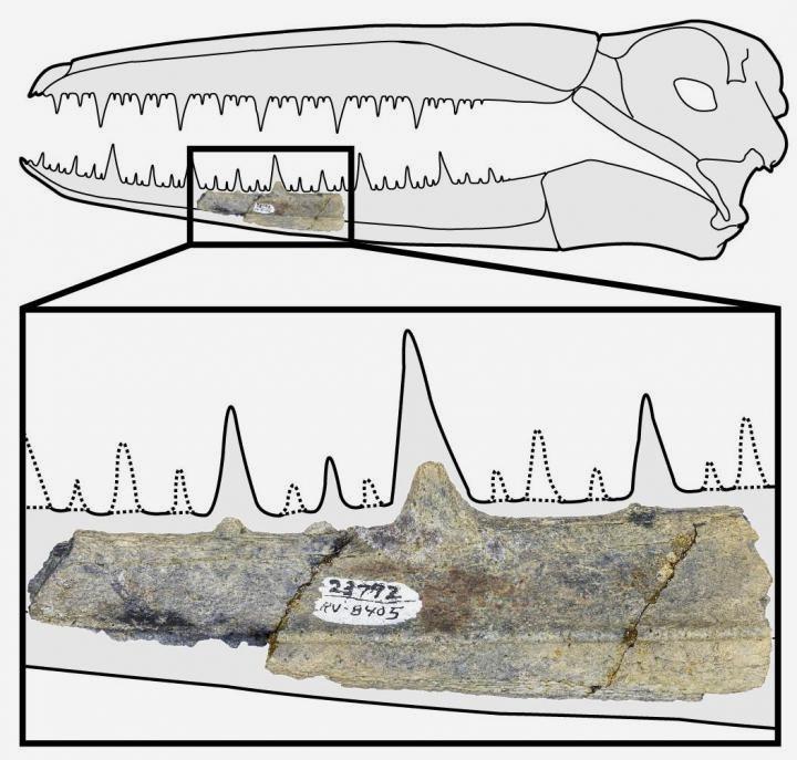 Parte de mandíbual de pelagornitídeo