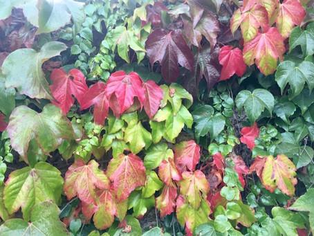 Fall Ivy
