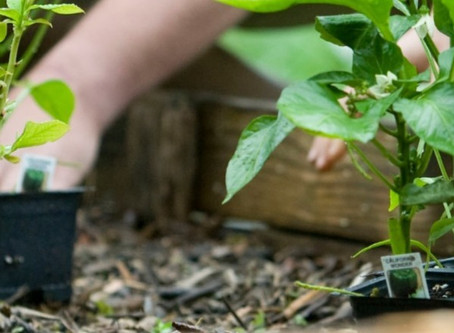 Are you planting a pandemic garden?