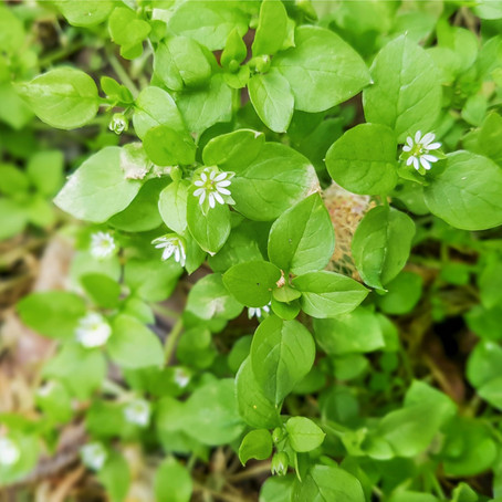 Cooling & Nutritious Chickweed