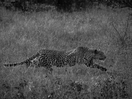 Leopard Stalk With A Twist In The Tale