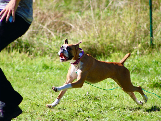 5 Ways To Exercise With Your Boxer