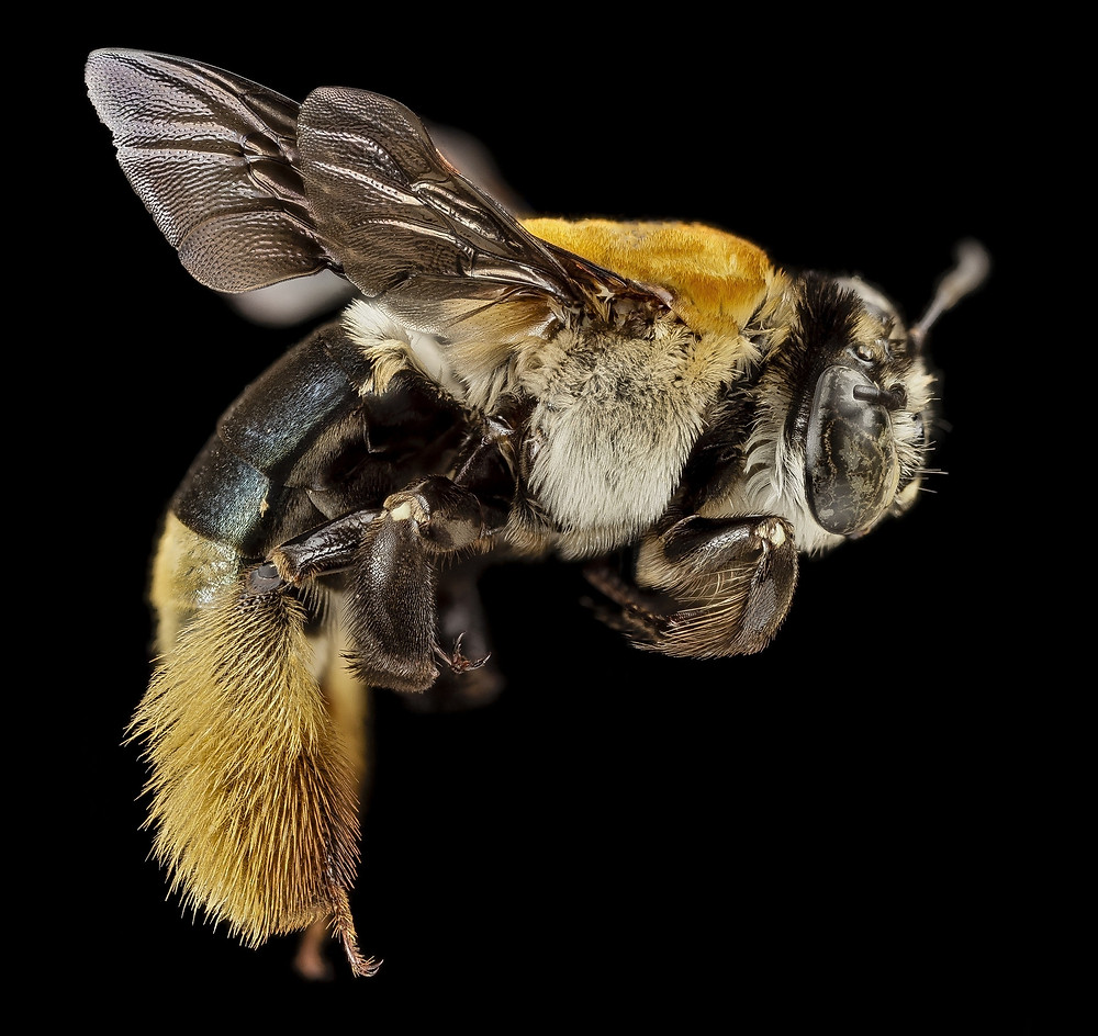 anatomia da abelha