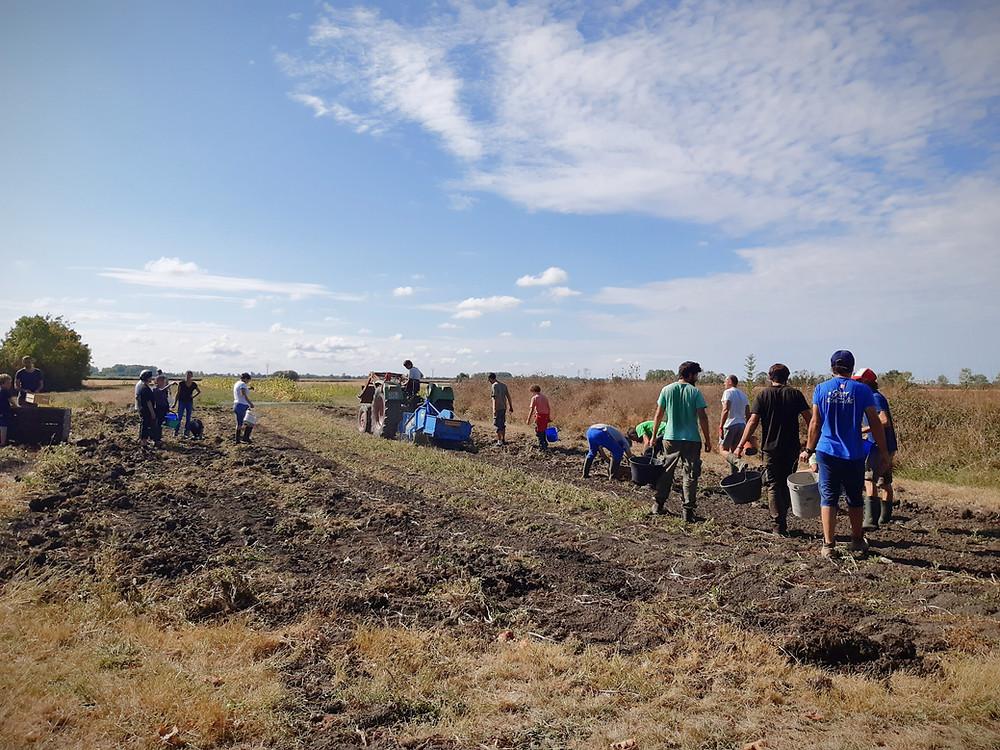 Récolte des pommes de terre chez Le Bio Panier 79