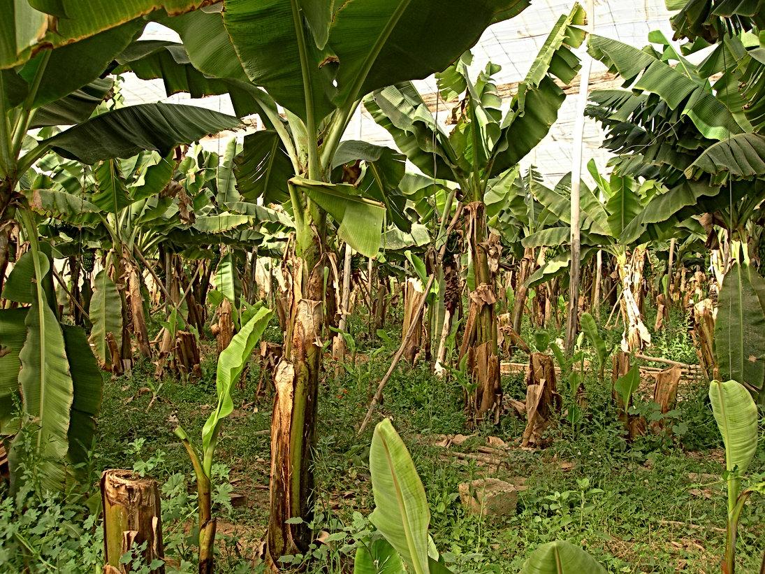 Inchallah bientôt des bananiers de Latifa El Aissi au Jardin aux Etoiles