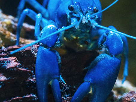 Comment le homard peut-il nous inspirer quand tout en nous est sous pression ?
