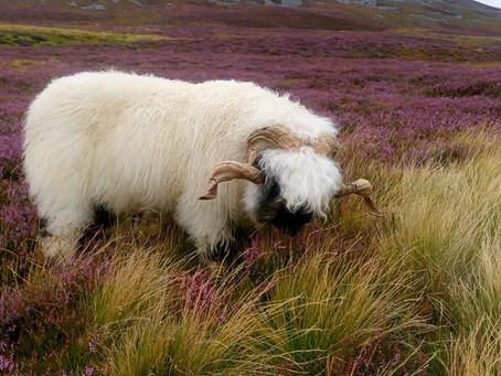 Les moutons Nez Noir du Valais du Varon
