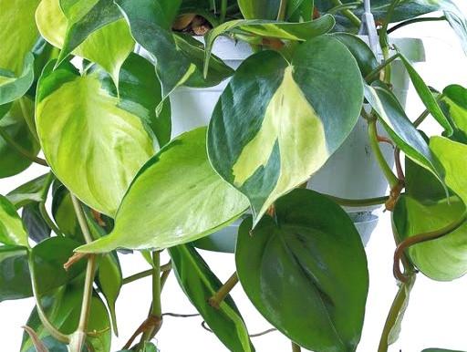 🌿 Jibóia - Epipremnum pinnatum - Era-do-diabo - Jibóia-verde 🌳