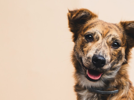 Miosite dos Músculos Mastigatórios em Cachorros