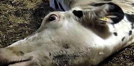 Les coulisses de l'industrie laitière : le véritable prix du lait