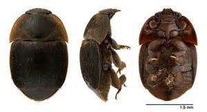 El Pequeño Escarabajo de la Colmena -PEC
