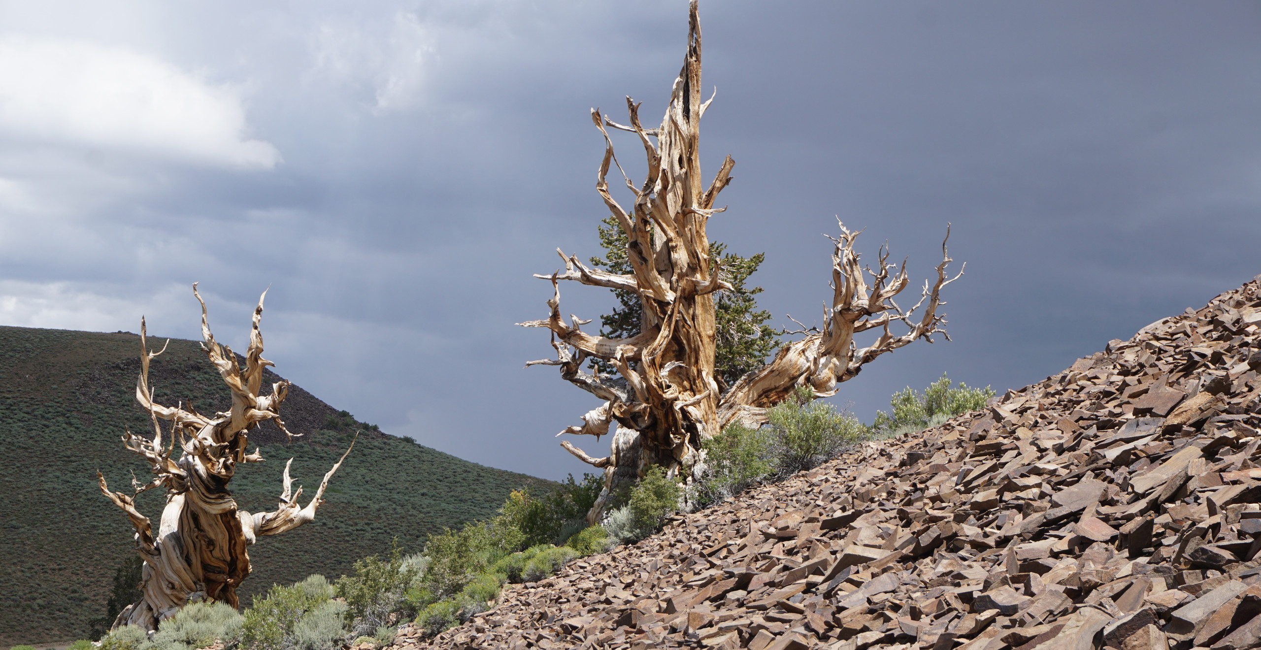 Bristlecone pines with pika habitat, White Mountains, CA