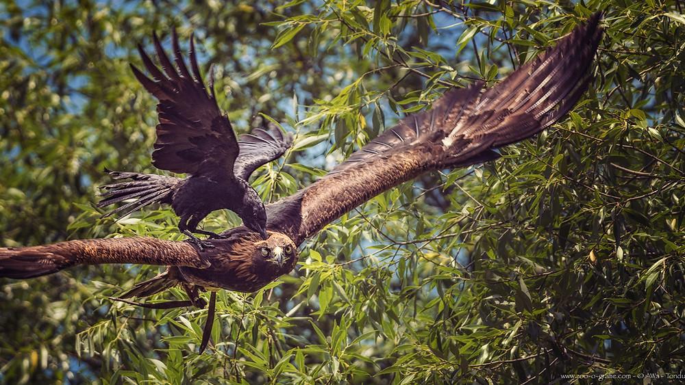 Krähe gegen Adonis - Tierpark Hellabrunn