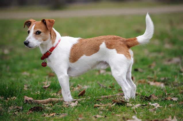 10 Dog Breeds That Are Incredibly Stubborn - Petdiary Dog Training Collar