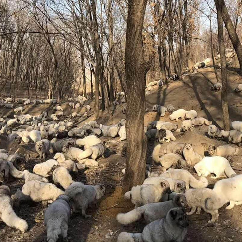 170+ Foxes Are Rescued from Chinese Fur Farm and Given New Home at a Buddhist Monastery