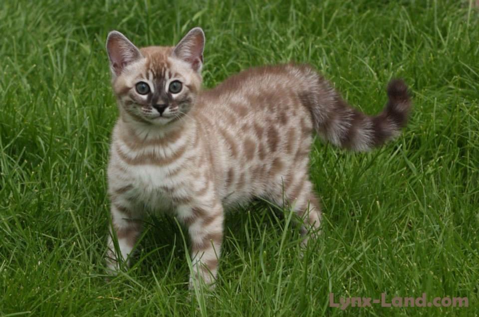 Lynxland Flora - silver mink charcoal cat kitten