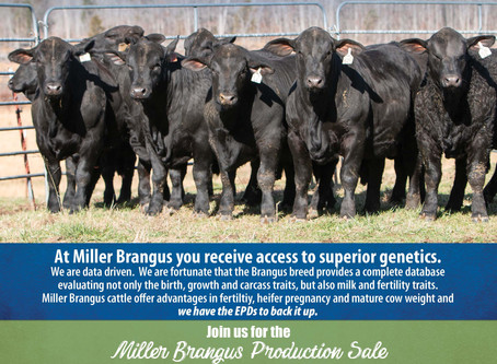 Miller Brangus Production Sale