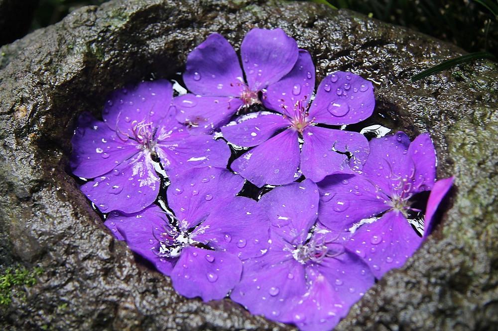 Flores violetas, el Jardín Celeste, El Salvador.