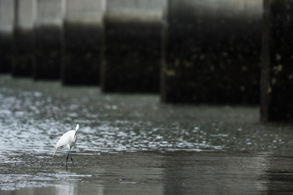 橋脚の下のチュウダイサギ / Great egret (a. a. modesta)