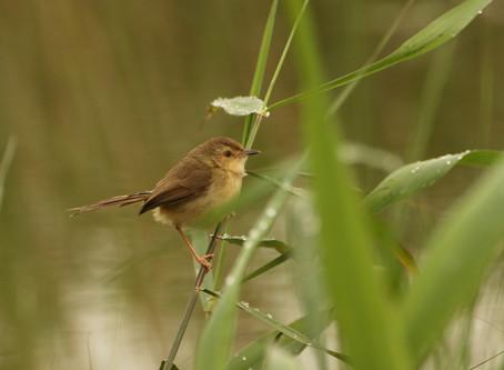 【景澤出任務】拜訪褐頭鷦鶯做家庭訪問