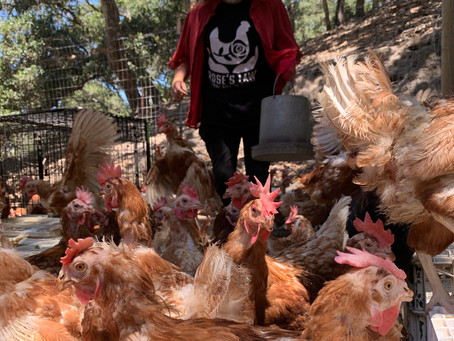 Saving Hundreds of Hens (Large Rescue)