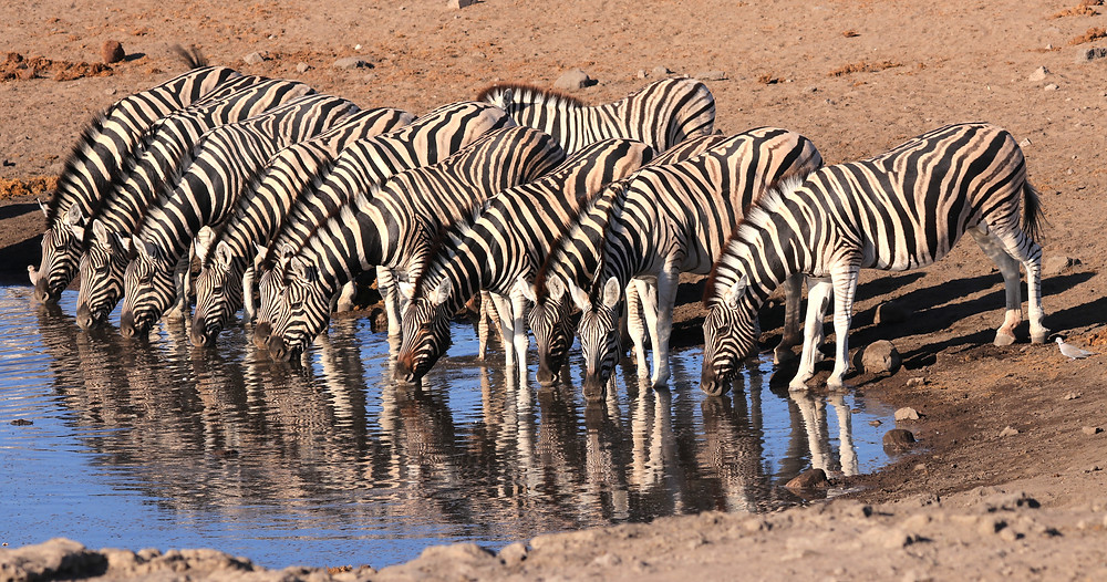 Zebras im Etosha Nationalpark
