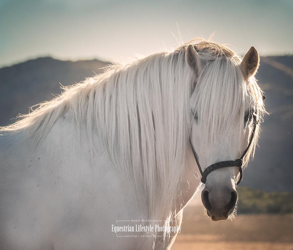 Highland Stallion from Scottland