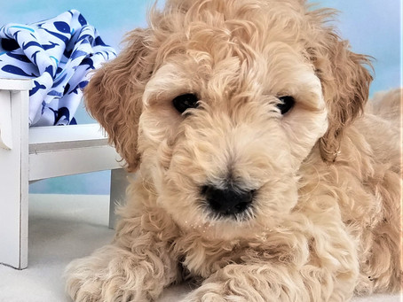 What is a goldendoodle anyway?