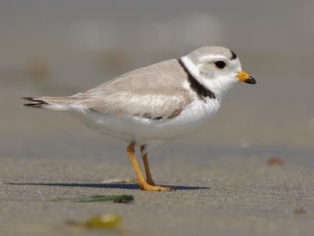 Design Blog: Cloaked Plover - From Endangered to Invisible